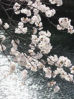 20120412_sakura06.jpg